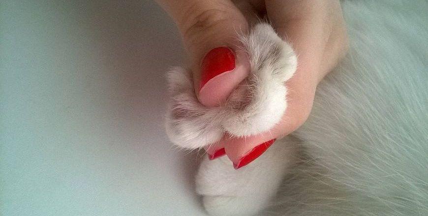 Кошачья лапа без когтей