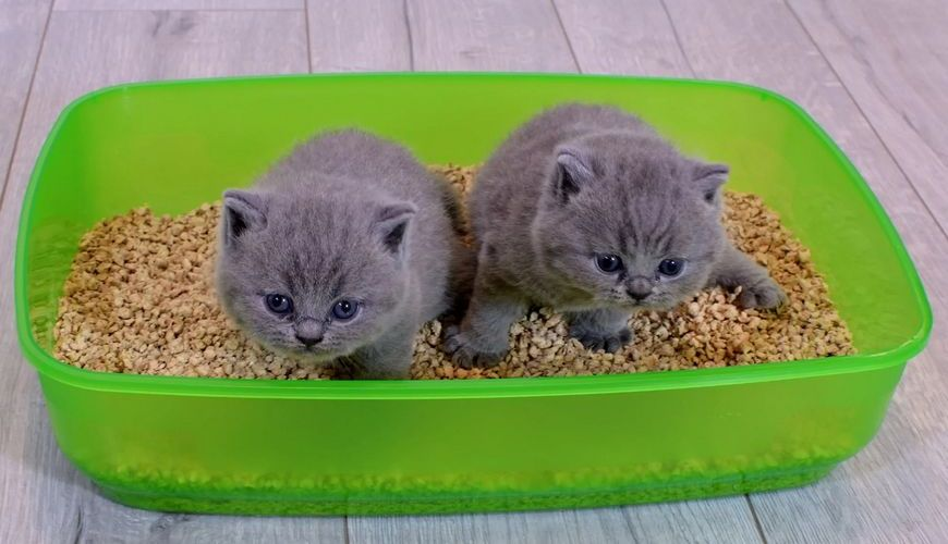 Котята в лотке на древесном наполнителе