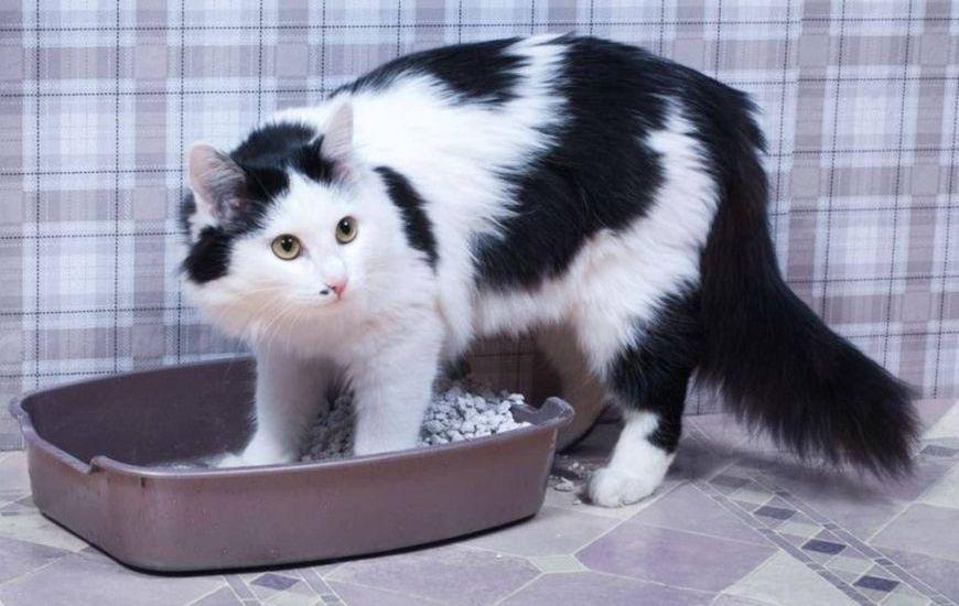 Взрослая кошка в лотке
