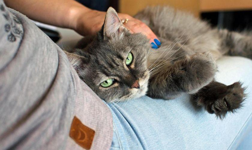 Кошка лежит на руках у хозяйки